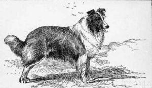 collie-1860